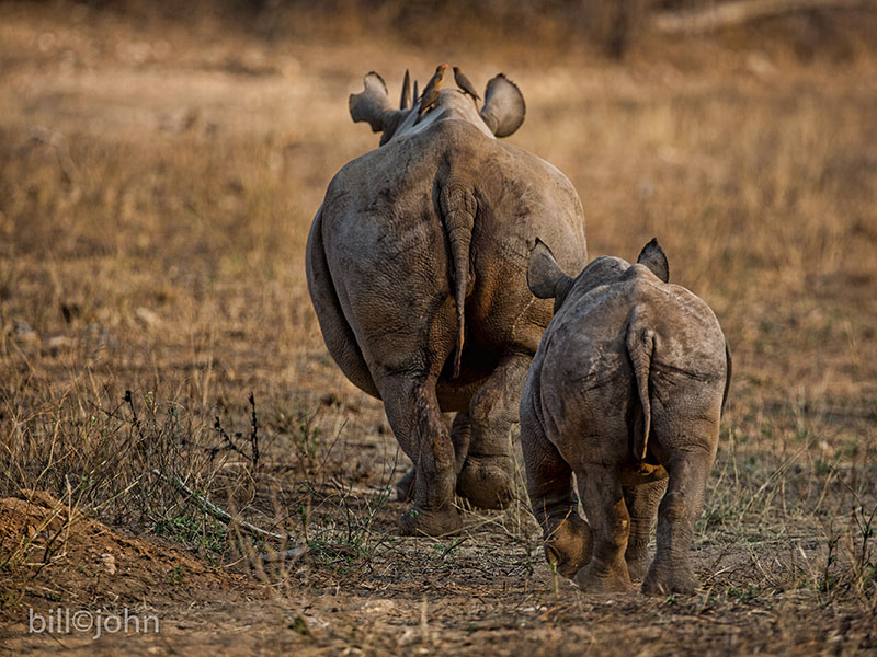 rhinos walking forward